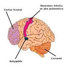 L'amygdale cérébrale, siège de nos émotions Amygda12
