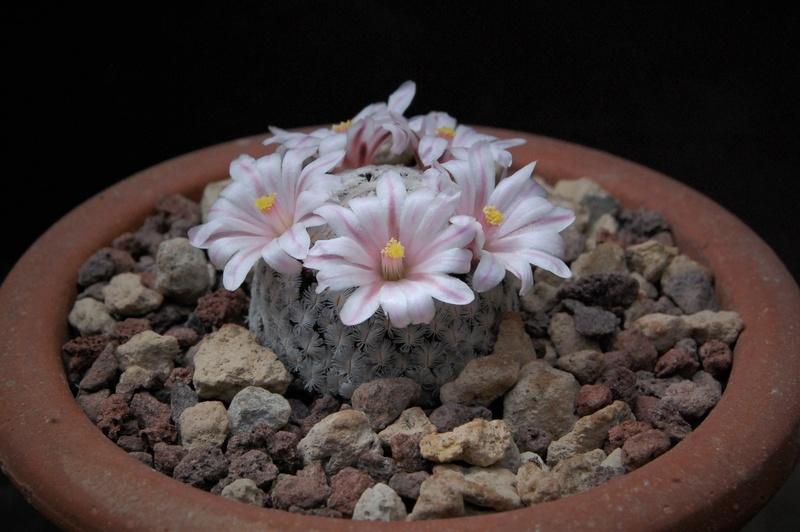 Mammillaria sanchez-mejoradae -2018017