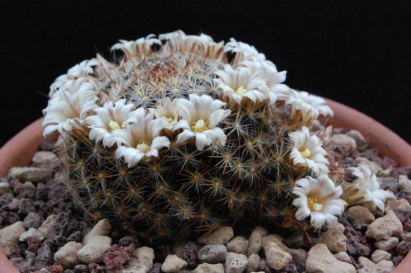 Mammillaria picta -2018020