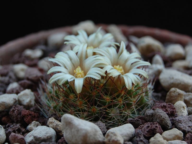 Mammillaria picta 10005-10