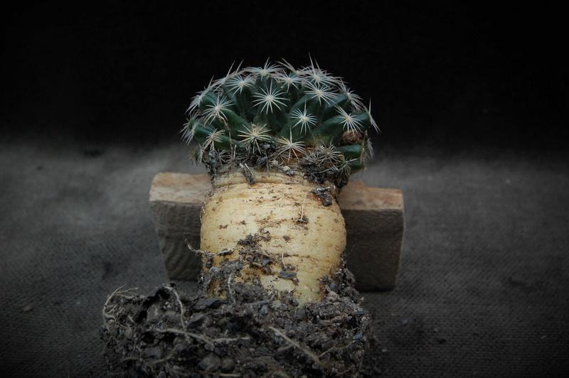 Mammillaria coahuilensis 11012-10