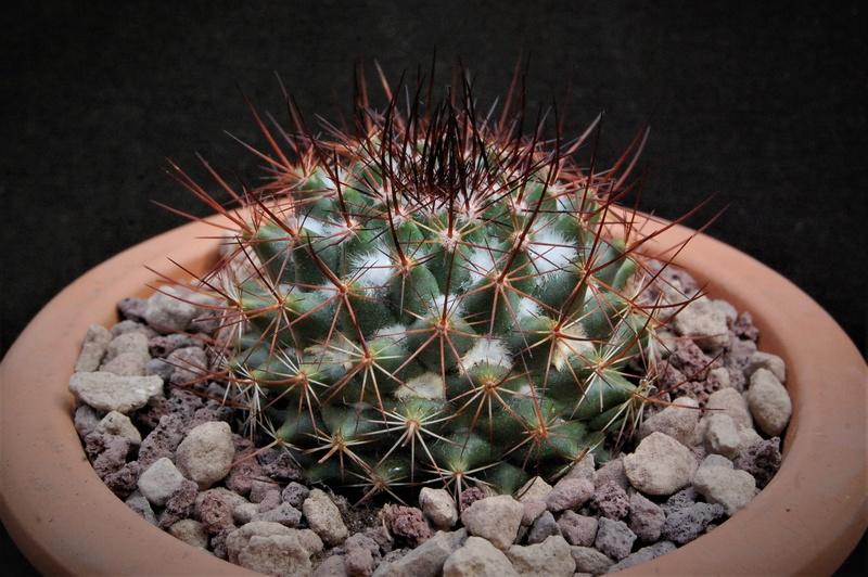 Mammillaria scrippsiana 11068-10