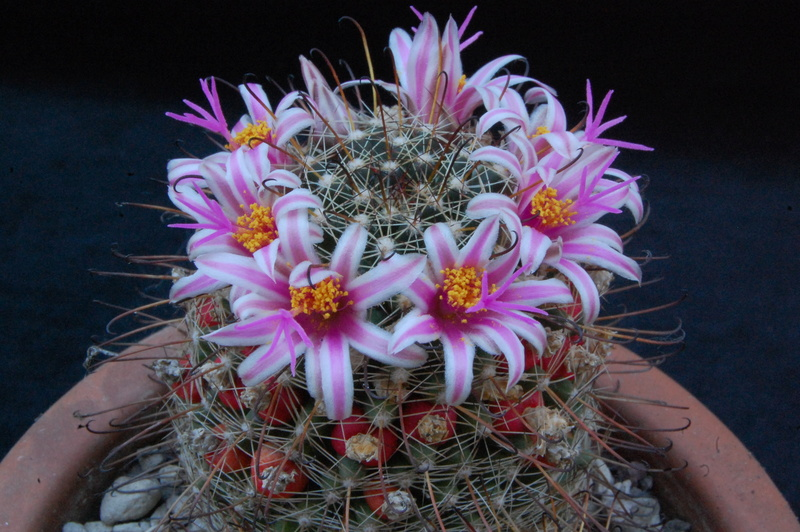 Mammillaria mainiae 2375-210