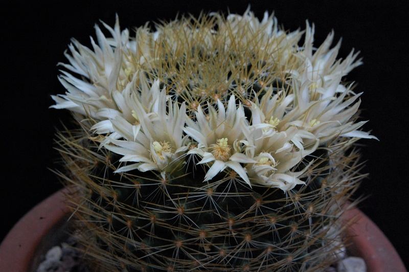 Mammillaria aurisaeta       2446-210
