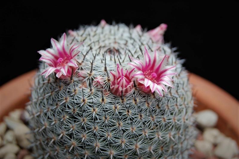 Mammillaria formosa 2459-211