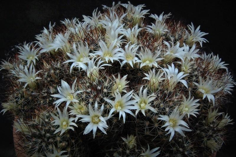 Mammillaria picta 2477-210