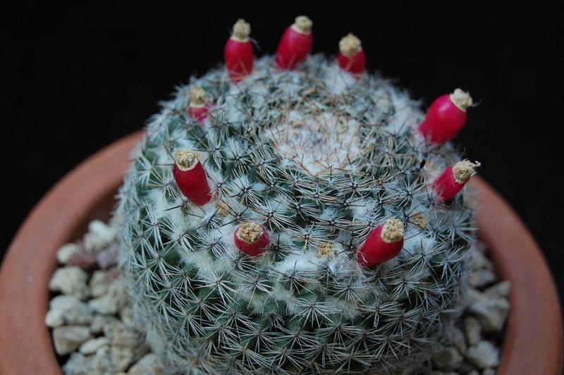 Mammillaria arroyensis       2544-213