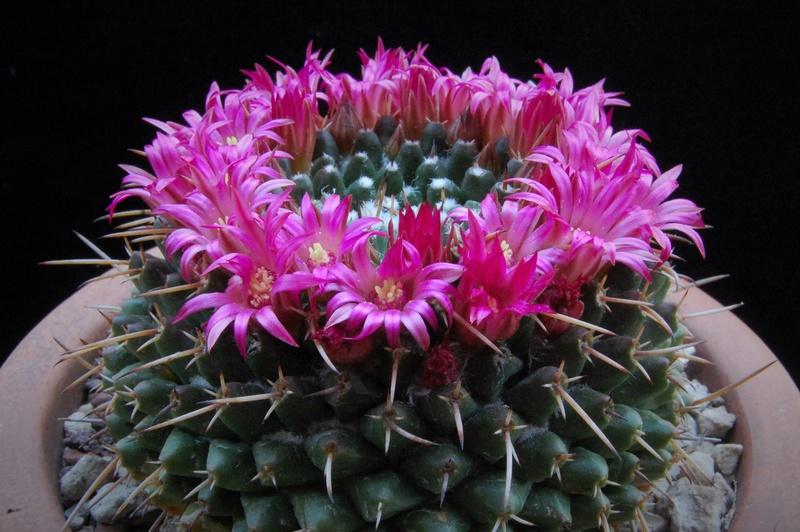 Mammillaria bucareliensis 3146-210