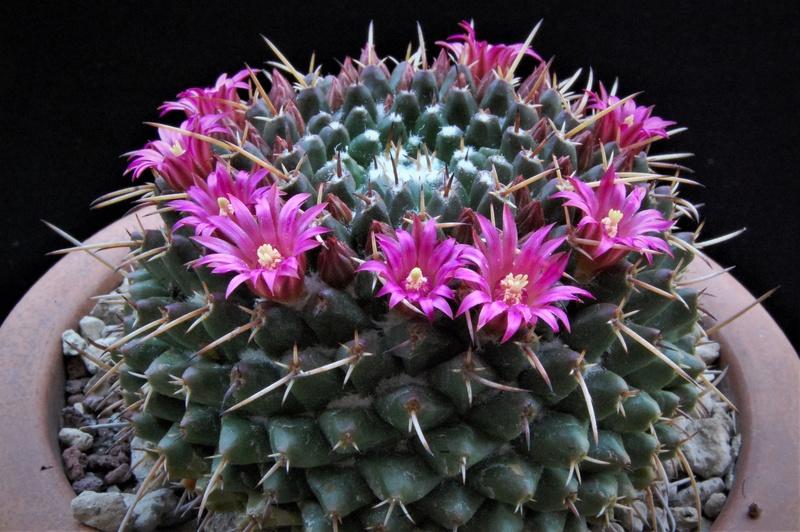 Mammillaria bucareliensis 3146-211