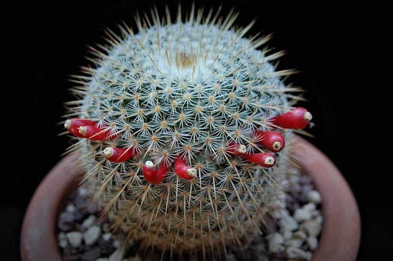 Mammillaria flavicentra 3156-211
