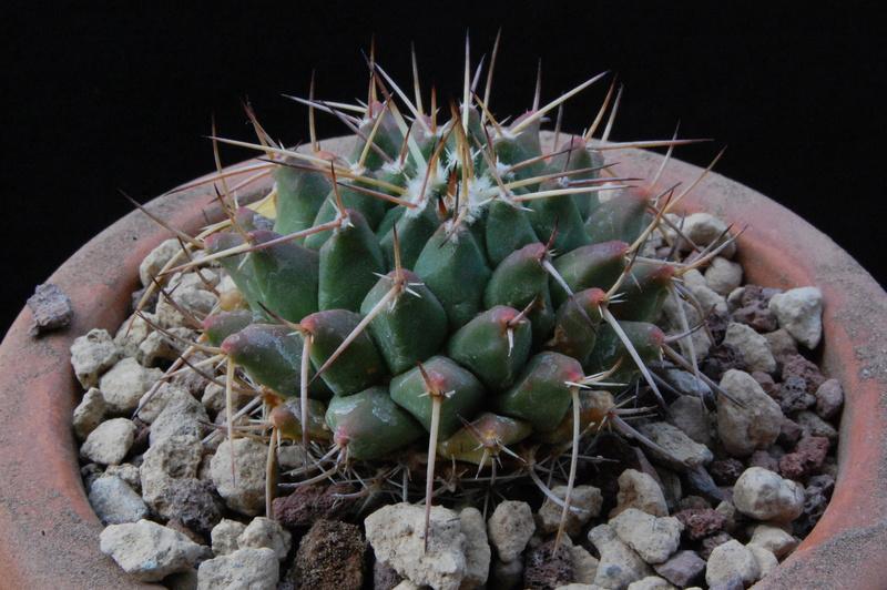 Mammillaria bucareliensis 3230-210