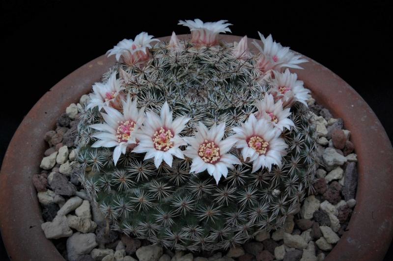 Mammillaria formosa 3237-210
