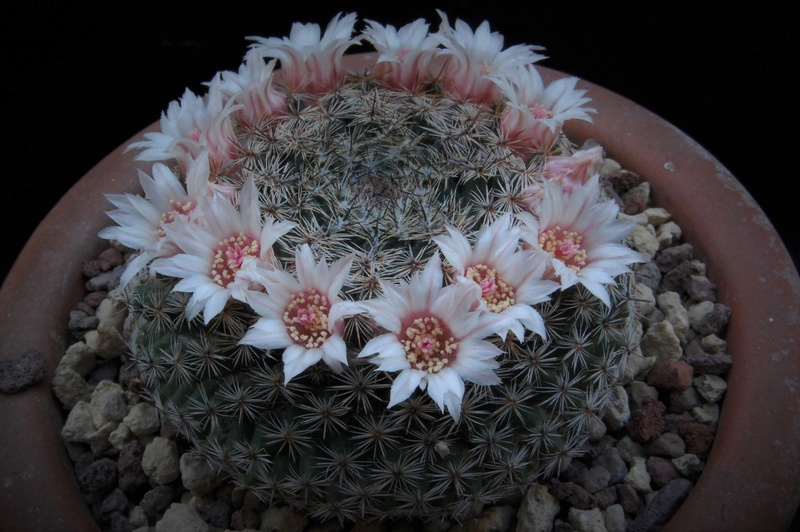 Mammillaria formosa 3237-211