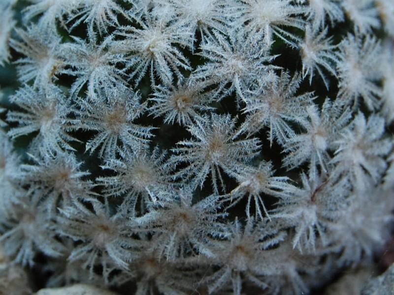 Mammillaria roemeri 3397_210