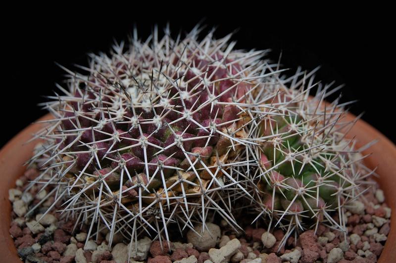 Mammillaria roseoalba 3700-210