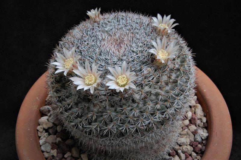 Mammillaria chionocephala 4076-210