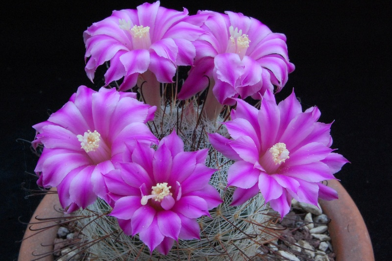 Mammillaria longiflora 4124-210