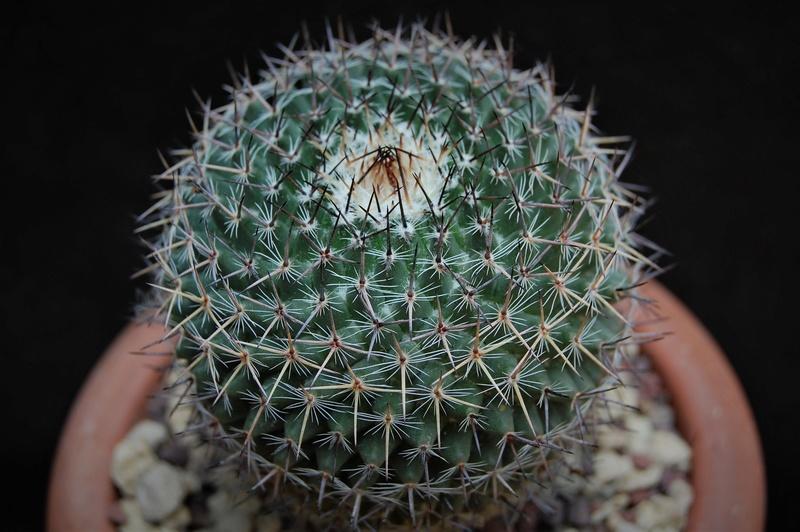 Mammillaria chionocephala 5074-211