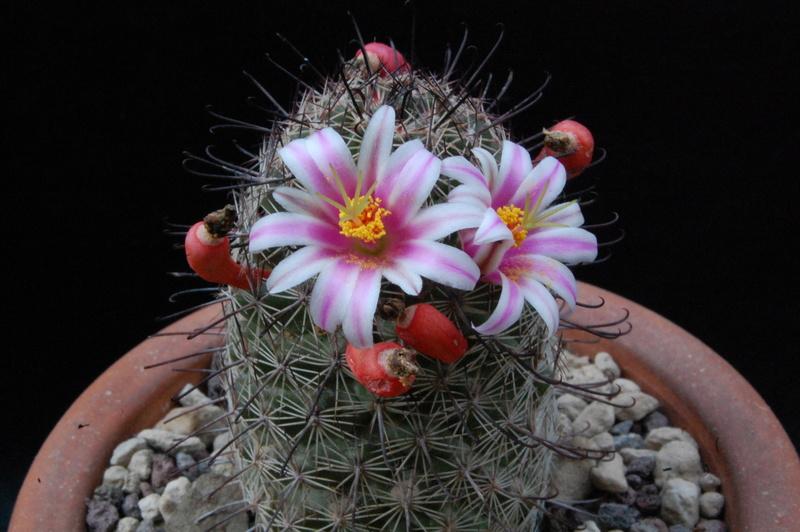 Mammillaria swinglei 5113-210