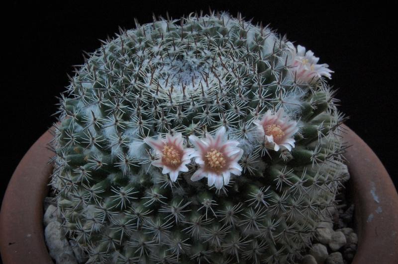Mammillaria formosa 5168-210