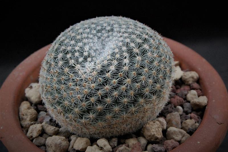 Mammillaria formosa 5175-210