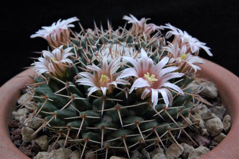 Mammillaria roseoalba 5192-210