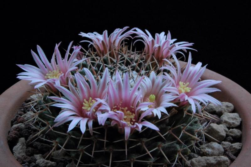 Mammillaria roseoalba 5192-211