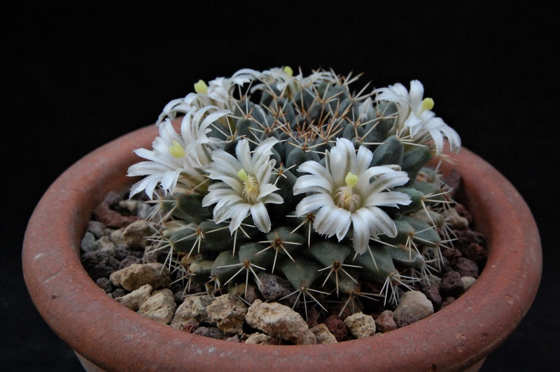 Mammillaria roseoalba 5313-210