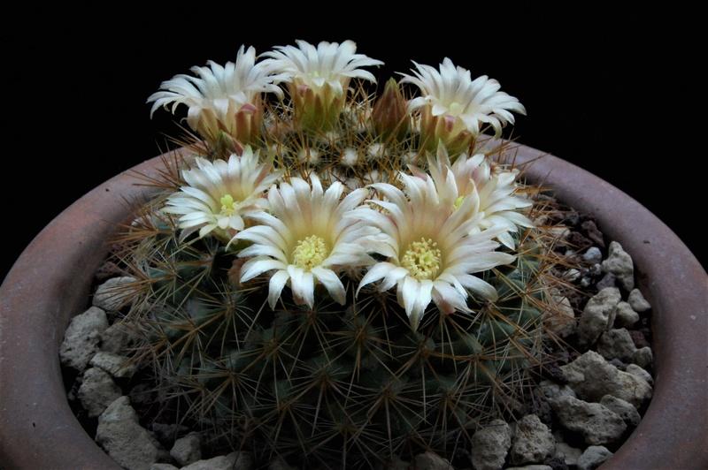 Mammillaria canelensis 5315-212