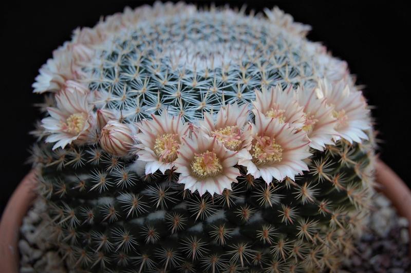 Mammillaria formosa 5535-210