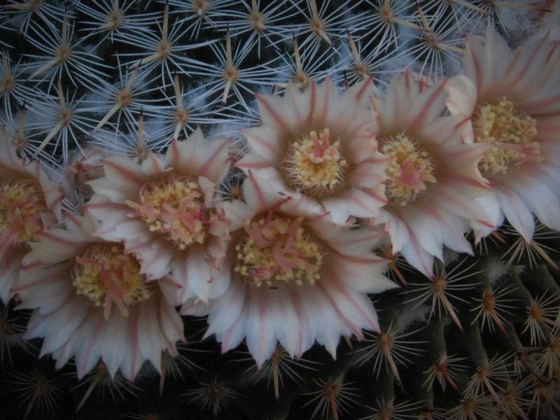Mammillaria formosa 5535-211