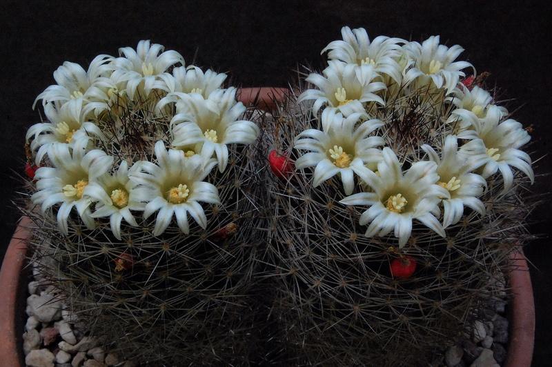 Mammillaria picta 6084-211
