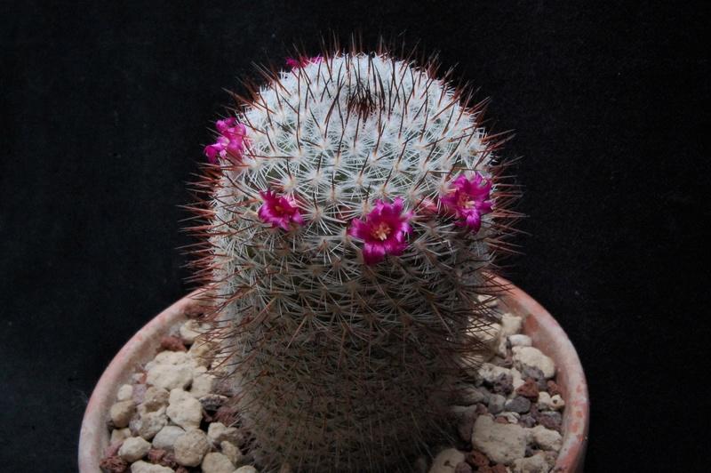 Mammillaria monticola 6090-210