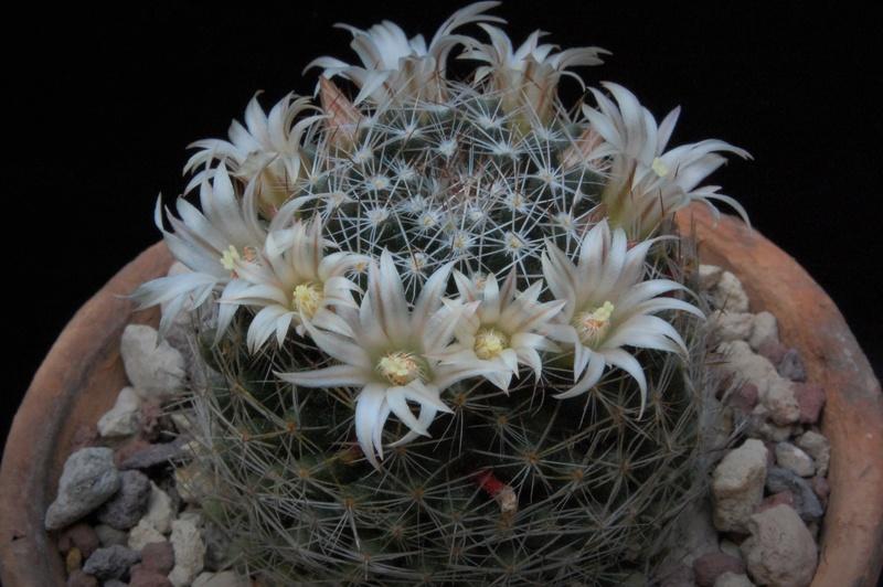 Mammillaria picta 6222-210