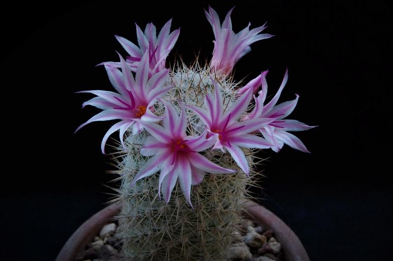 Mammillaria albicans 6525-210