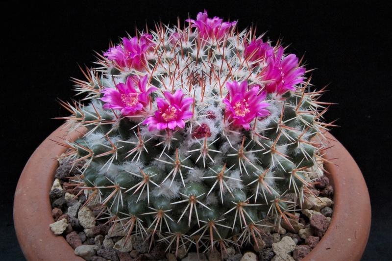 Mammillaria scrippsiana 7148-210