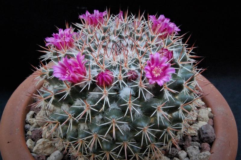 Mammillaria scrippsiana 7148-211