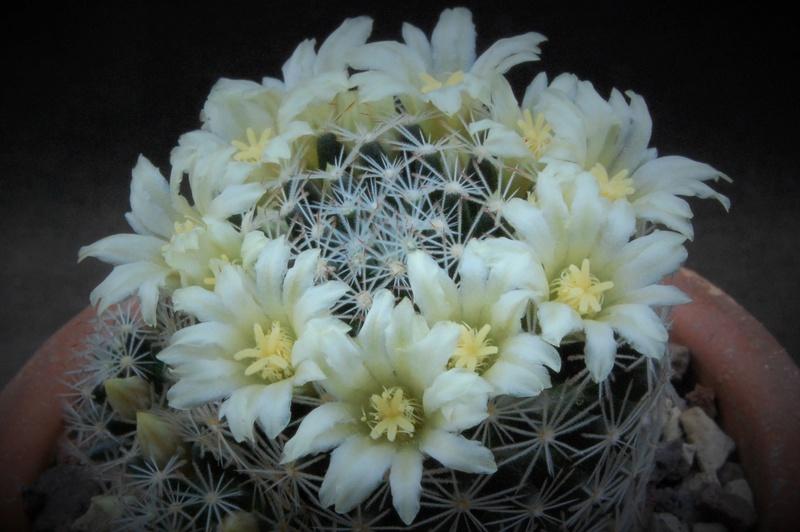 Mammillaria picta 7326-210