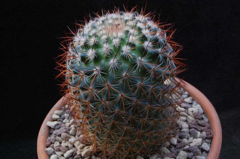 Mammillaria rhodantha 7410-210