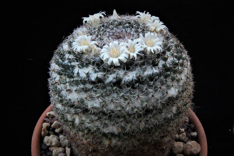 Mammillaria formosa 7453-212