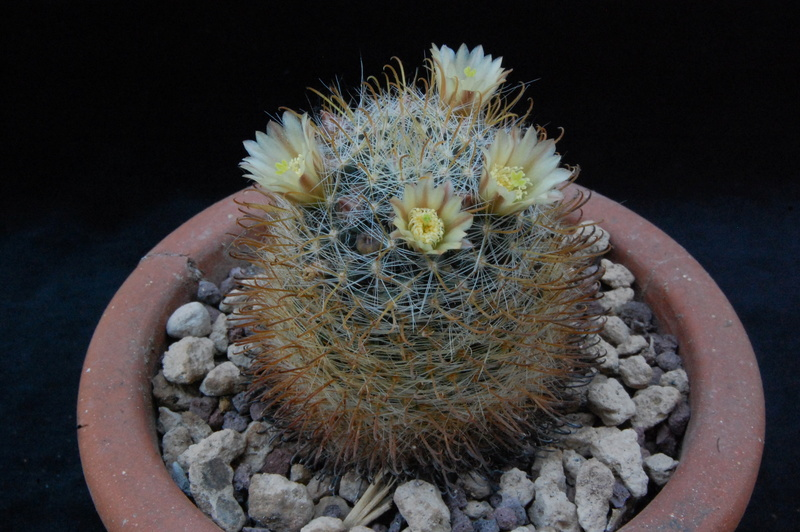 Mammillaria calleana 8003-214