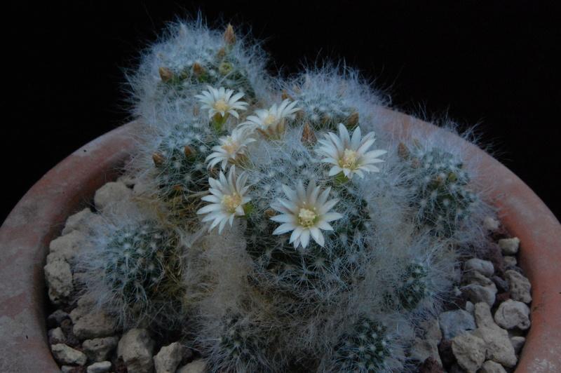 Mammillaria scheinvariana 8045-210