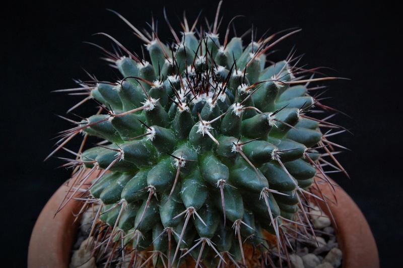 Mammillaria gigantea 8054-210
