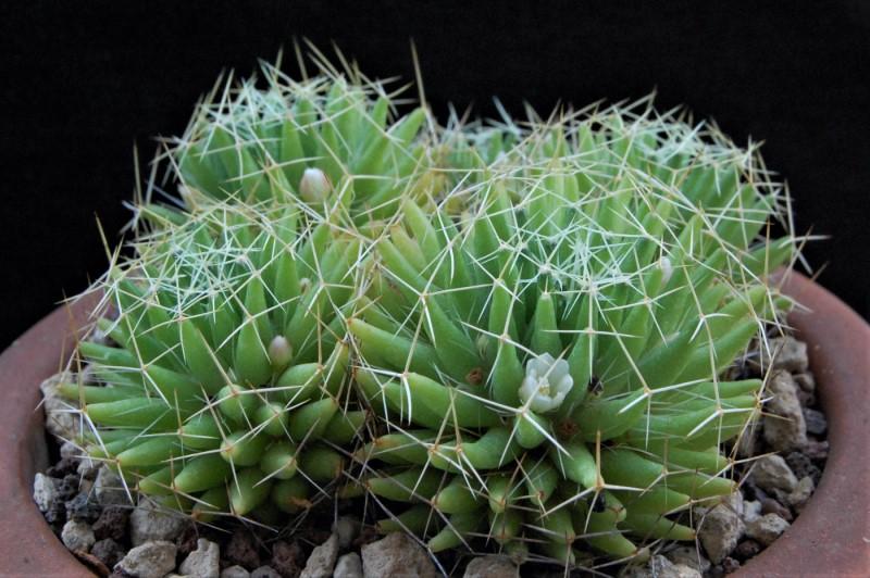 Mammillaria decipiens 8068-210