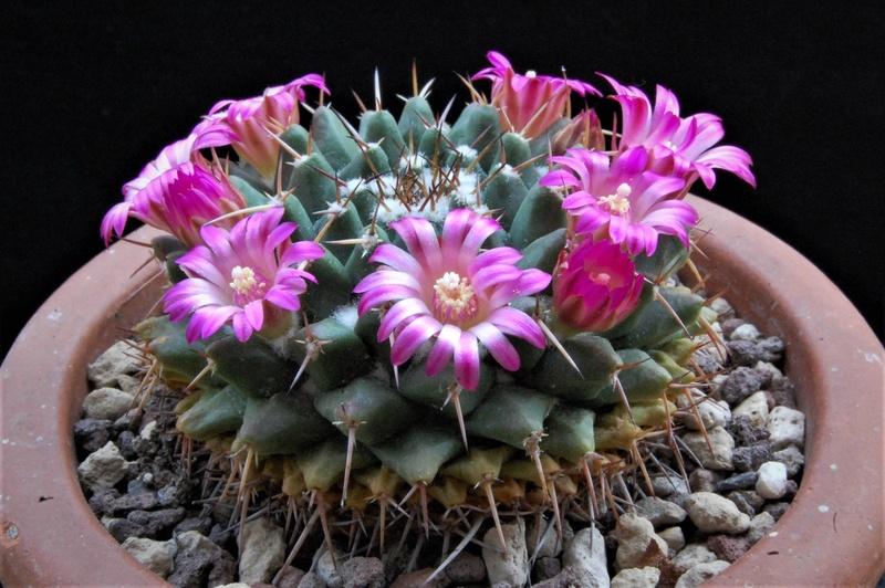 Mammillaria bucareliensis 8082-210
