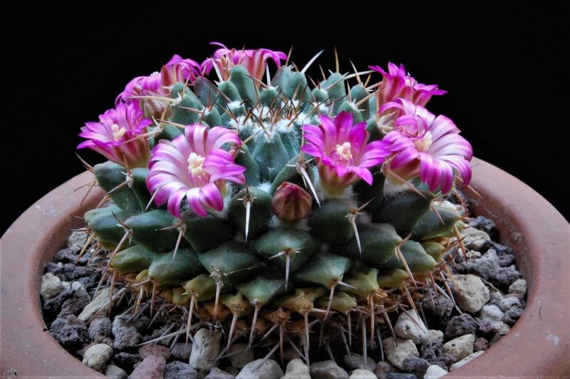 Mammillaria bucareliensis 8082-211