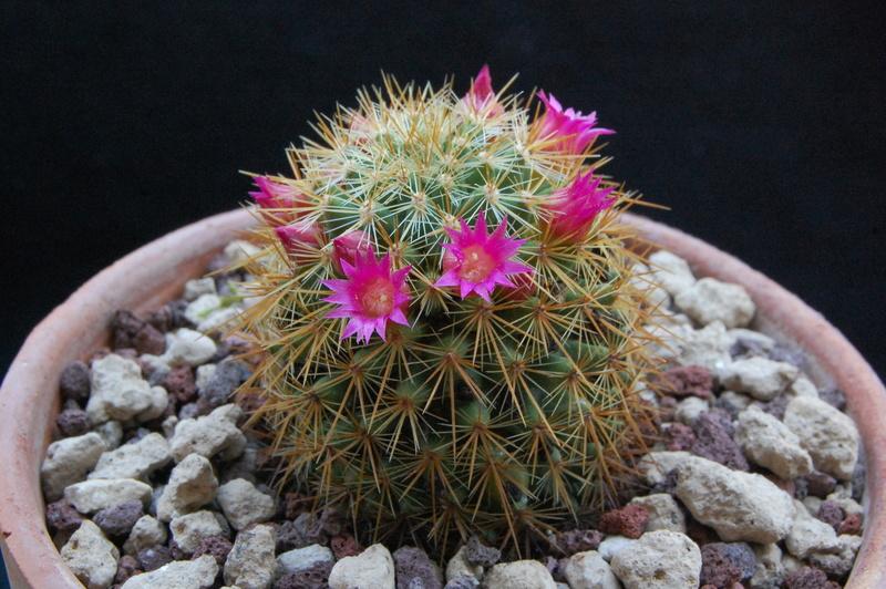 Mammillaria rekoi 8105-210
