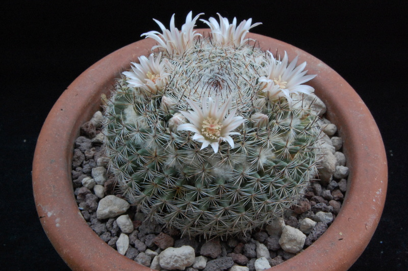 Mammillaria formosa 8220-210