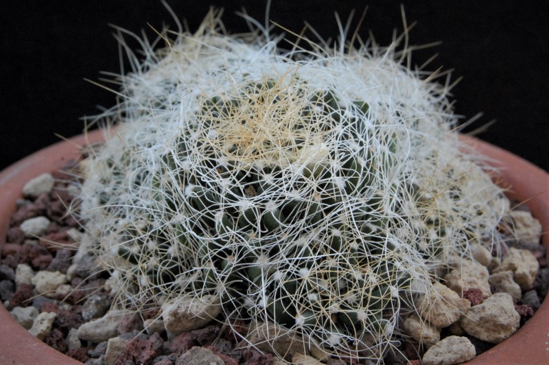 Mammillaria decipiens 8340-210