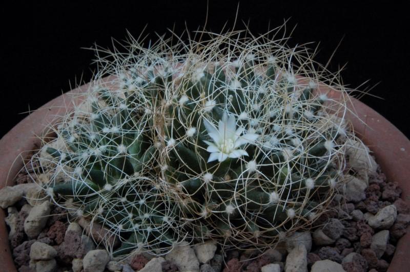 Mammillaria decipiens 8340-211